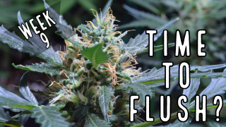 Week 9: When To Flush Autoflowers