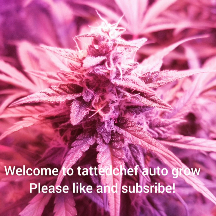 short video update on mini gun grow do a trim