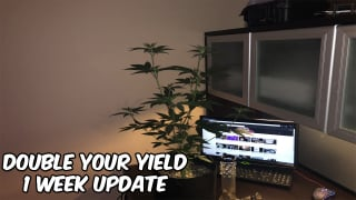 Why You Should Top Your Weed Plant (One Week After Topping)