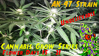 Cannabis Grow Series Ep.12 | How to Grow AK-47: Flower Stage Days 15 - 21 | Unbelievable Bud Development!