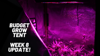 BUDGET GROW TENT - WEEK 8 UPDATE (FLOWER)