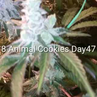 8 Animal Cookie sneak peek 3 days till Harvest. Total time 75 days veg and flower. Only nutrients used Mills A&B