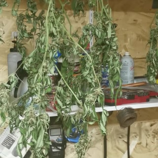 HOW TO DRY YOUR BUD! CROPTIME PART2