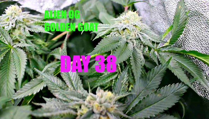 Flowering Cannabis In A Grow Tent Day 38