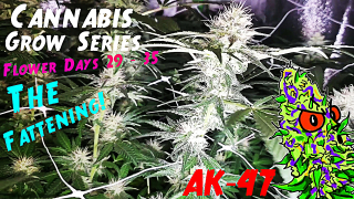Cannabis Grow Series Ep.14 | How to Grow AK-47: Flower Stage Days 29 - 35 | Week Of The Fattening!
