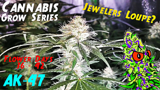 Cannabis Grow Series Ep.15 | How to Grow AK-47: Flower Stage Days 36 - 42 | Should You Get A Jewelers Loupe?