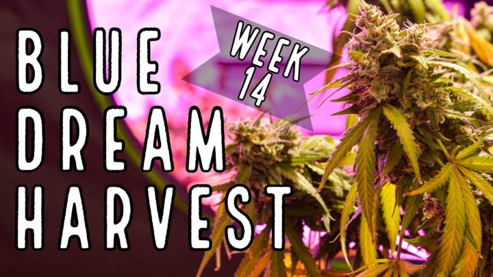 Week 14: Blue Dream Complete Harvest (Chopping, Drying, Trimming, and Curing)