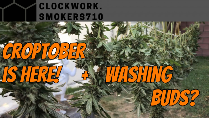 Croptober Harvest and Washing your Buds?