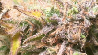AK x Critical Mass!! 4K Video, Better Lense, Trichome ZOOMED IN!! [Daily YouTube Garden Vlog [10/6/19]