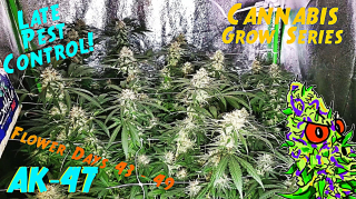 Cannabis Grow Series Ep.16 | How to Grow AK-47: Flower Stage Days 43 - 49 | Late Flower Pest Control?
