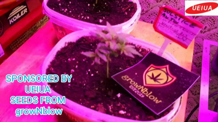 SOLSTICE AUTO FLOWERS WEEK 2 OF VEG UNDER THE A002 LED GROW LIGHT SPONSORED BY UEIUA<br />