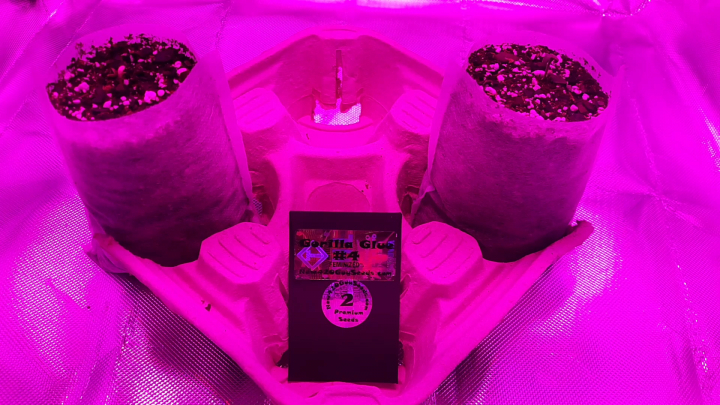 new grow series : officially day 1 for gorilla glue #4 sprouts!