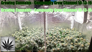 Growing Cannabis - Community Grow Channel 10-13-19