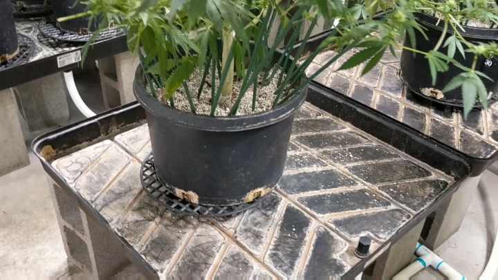 HOW I MANAGE MY PLANTS IN A DRAIN TO WASTE COCO/PERLITE GROW (Exclusive Daily WeedTube Upload)