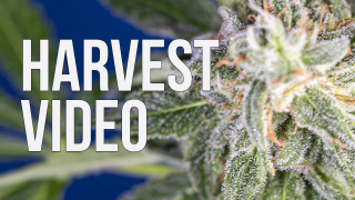 HARVEST • Canuk Seeds Grow