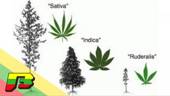 3 Different Types of Cannabis | BammerTV