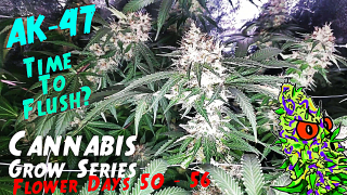 Cannabis Grow Series Ep.17 | How to Grow AK-47: Flower Stage Days 50 - 56 | Time To Flush?!