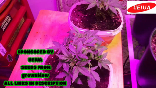 SOLSTICE AUTO FLOWERS WEEK 3 OF VEG UNDER THE A002 UEIUA LED GROW LIGHT