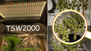 Cannabis indoor grow journal-cheese flowering with Mars Hydro TSW2000 LED grow light and grow tent