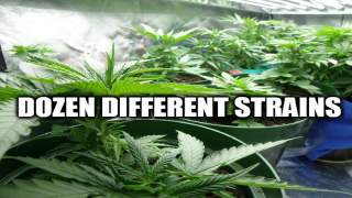 Growing Cannabis | A Dozen Different Strains!