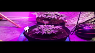 SOLSTICE AUTO FLOWERS WEEK 4 OF VEG UNDER THE GL 102 UEIUA LED GROW LIGHT <br />