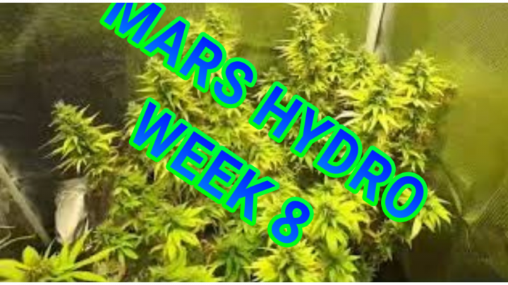 STRAWBERRY BANANA SHERBERT X BLUEBERRY WEEK 8 OF FLOWER UNDER THE MARS HYDRO TS 1000W LED
