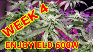 BLUEBERRY KUSH WEEK 4 OF FLOWER UNDER THE ENJOYIELD 600W LED<br />