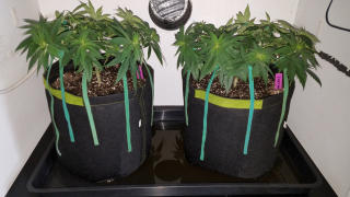 Gorilla CBD - Seed to Harvest Grow  - Day 28 of Veg Cycle - Transplanting to Final Flowering Pot -
