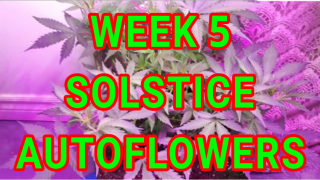 SOLSTICE AUTO FLOWERS WEEK 5 OF VEG UNDER THE A002 UEIUA LED GROW LIGHT <br />