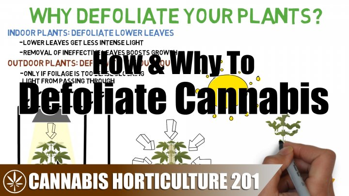 Why You Should Defoliate Your Cannabis Leaves