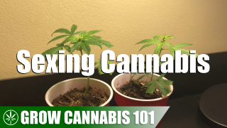 Determining The Sex of Cannabis With Clones