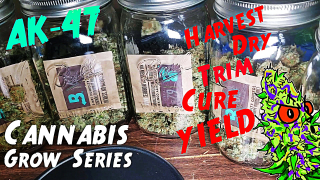 Cannabis Grow Series Ep.19 | How to Grow AK-47: Full Harvest, Dry, Trim, Cure, & Yield!