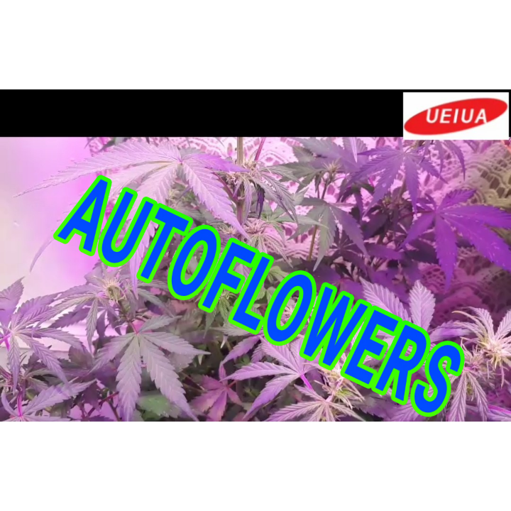 SOLSTICE AUTO FLOWERS WEEK 5 OF VEG UNDER THE A002 UEIUA LED GROW LIGHT