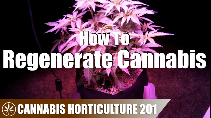 How to Regenerate A Cannabis Plant