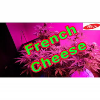 FRENCH CHEESE WEEK 4 OF FLOWER UNDER THE 600w UEIUA GL 102 LED LIGHT <br />