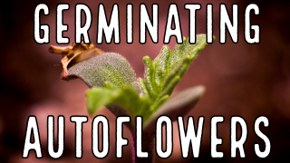 Season 2: Germinating Autoflowers