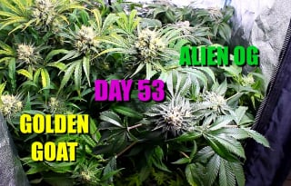 Flowering Cannabis In a Grow Tent Day 53
