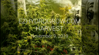 EZHYDROGROW.COM Harvest weigh in!