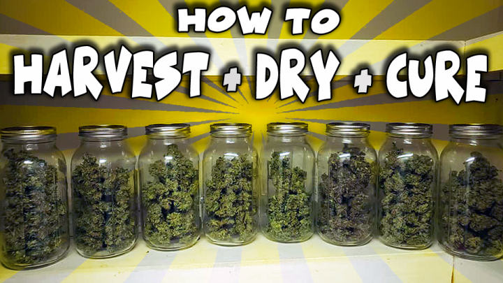 How To Harvest, Dry & Cure Legal Cannabis - Full Process (Wet Trim Method)