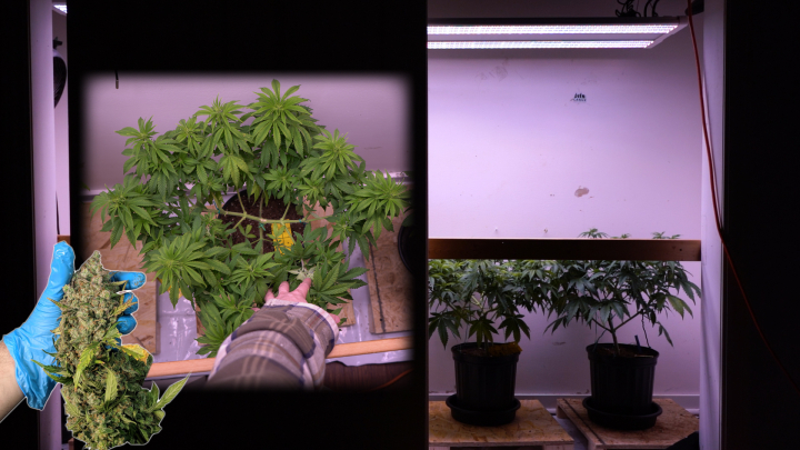 4 PLANT CLOSET GROW: TRAINING PLANTS FOR 1 POUND YIELDS