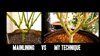 Mainlining Cannabis Plants, Watts or PAR?, Growing Dense Buds - Q&A #2
