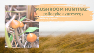 LOOKING FOR THE MOST POTENT PSYCHEDELIC MUSHROOMS!