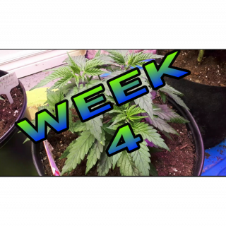 <br /> HAWAIIAN STYLE DUCK WEEK 4 OF VEG UNDER THE MARS HYDRO SP 150 LED LIGHT