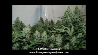 Scrogging Tutorial – Learn How To Scrog In 5 Easy Steps