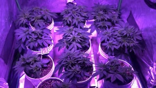 viparspectra 4x4 day 28 from seed