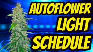 PERFECT AUTOFLOWER CANNABIS LIGHT SCHEDULE