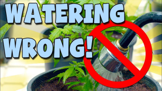 (2Hot for youtube) How To Water Your Plants & Train Root Balls