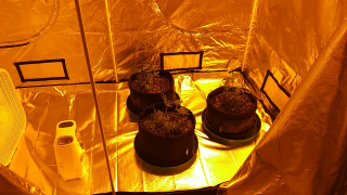 WHO WANTS TO GROW A POUND OF MARIJUANA IN 85 DAYS OR LESS, WITH ONLY 3 PLANTS. SUBSCRIBE HERE