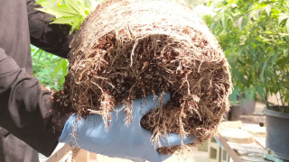 Roots on Uptown Funk! Here's what healthy roots look like