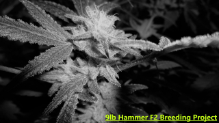 9lb Hammer F2 and 9lb Hammer x Super Silver Sour Diesel Haze Breeding Project